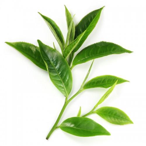 Thành phần của thuốc giảm cân Thành phần của thuốc giảm cân Green teaGreen tea